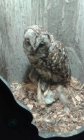 Stuffed spotted owl