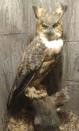 Stuffed great horned owl